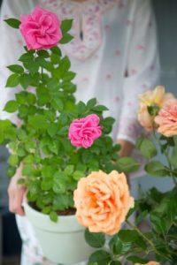 Offrir un rosier de jardin