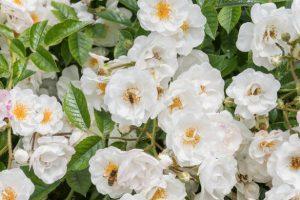 Les rosiers donnent une impulsion à la biodiversité