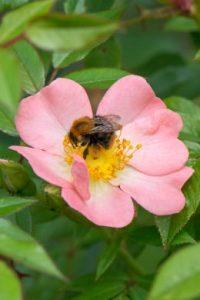 Les rosiers contribuent à la biodiversité dans les espaces publics