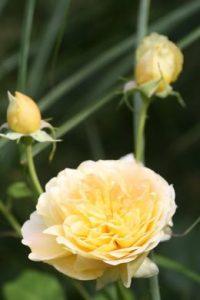 rozen planten